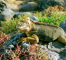Land Iguana, Galapagos Islands, Ecuador by Paris Lee