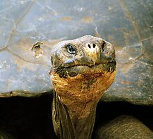 Giant Tortoise 'Lonesome George', Galapagos Islands, Ecuador by Paris Lee