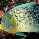 Semicircle Angelfish, Ningaloo Reef by Erik Schlogl