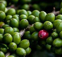 Coffee Berries by lm31