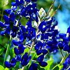Bluebonnets by bigjason56
