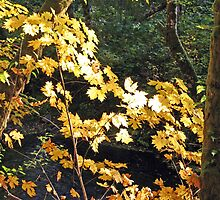 """""""Maple Leafs In The Afternoon Sun"""" by Lynn Bawden"""