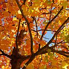 Up In The Autumn Maple by John Ayo