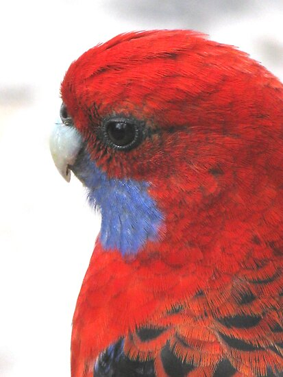 Contemplation - Crimson Rosella by Marilyn Harris