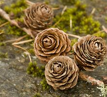 Larch Cones by kernuak
