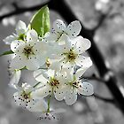 *Bradford Pear Tree Blooms* by Darlene Lankford Honeycutt