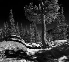 """""""Limber Pines RMNP #2 """" by johnny gomez"""