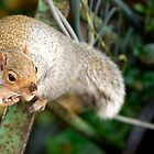 Grey Squirrel by Scott Moore