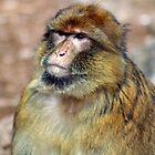 Barbary Ape by Karen Millard