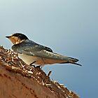Swallow by Karen Millard