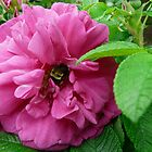 Bee Nestled in a Rose by MaeBelle