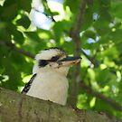 Kookaburra by Jennifer Ellison