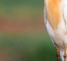 Cattle Egret in Breeding Plumage Sticker