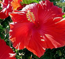 30th Wedding Anniversary, Hibiscus  by Margaret  Hyde