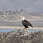 Bald Eagle  - 3963 by BartElder