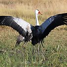 Wattled Crane - Moremi Game Reserve Botswana by Adrian Paul