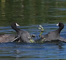 American Coots by tomryan