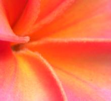 Pink plumeria #4, Big Island, Hawaii Sticker