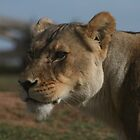 Lion by MarianH