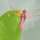 Pink Dragonfly by Almondtree