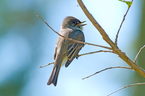 Eastern Phoebe II by Bonnie T.  Barry