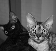 Naughty Devon Rex kittens by Poppaea