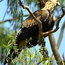 Australian Wedge-Tailed Eagle by Clive