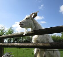 White Goat with bright blue sky by DeludedDesigns