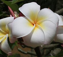 Plumeria Blossoms by Clark Thompson