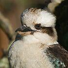 Kookaburra#4 by johnrf