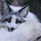 Snow Fox by capizzi