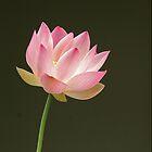 Lotus flower by claudefletcher
