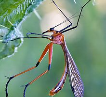 Macro of Scorpion fly by Aussieroo57