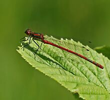 Large Red Damselfly by Robert Abraham