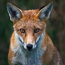 Red Fox Portrait by Krys Bailey