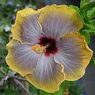Lavender hibiscus flower by claudefletcher