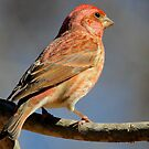 Male House Finch by NatureGreeting Cards ©ccwri