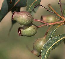 Gumnuts by Joy Watson