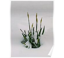 Despite Drifts Defiant Daffodils Doggedly Develop Poster