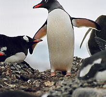"Gentoo penguin ""Pygoscelis papua"" #2 by Rosie Appleton"