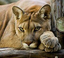 Texas Cougar by Debbie Bryant