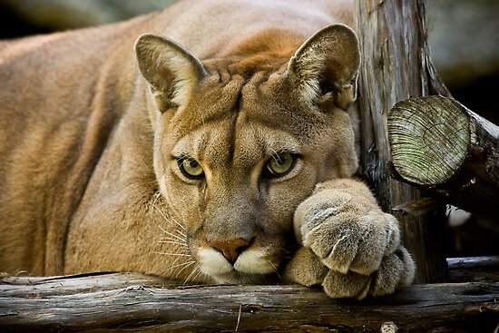 Texas Cougar by Debbie Bryant