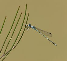 Damselfly, Ischnura heterosticta, overhanging a temporary soak. by peterstreet