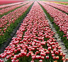 Tulip Field In Spring by Jo Nijenhuis