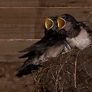 Hungry Barn swallows by Minne