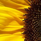 The sunflower by madmac57