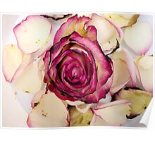Pink White roses 2 Poster