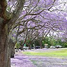 Jacaranda Colour by Keith G. Hawley
