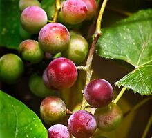 Sweet Grapes by Christina Rollo