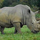 horny rhino by zacco